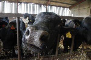 Beef cow at Barleymows Farm