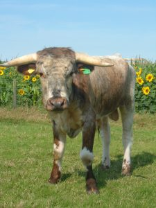 Cow with horns at Barleymows