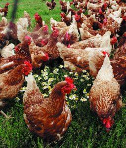 Free range hens at Barleymows