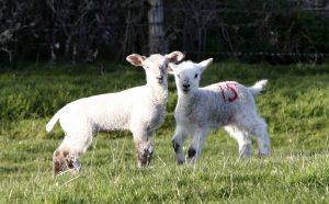 Lambs at Barleymows