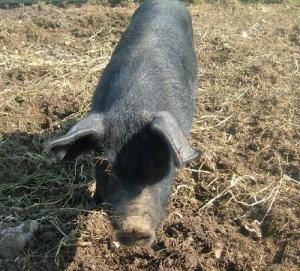 Pig at Barleymow's Farm