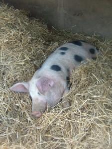 Piglet at Barleymow's